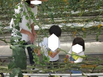20160530トマト採り.jpg